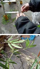 枝まで天然竹を使用した「黒竹」
